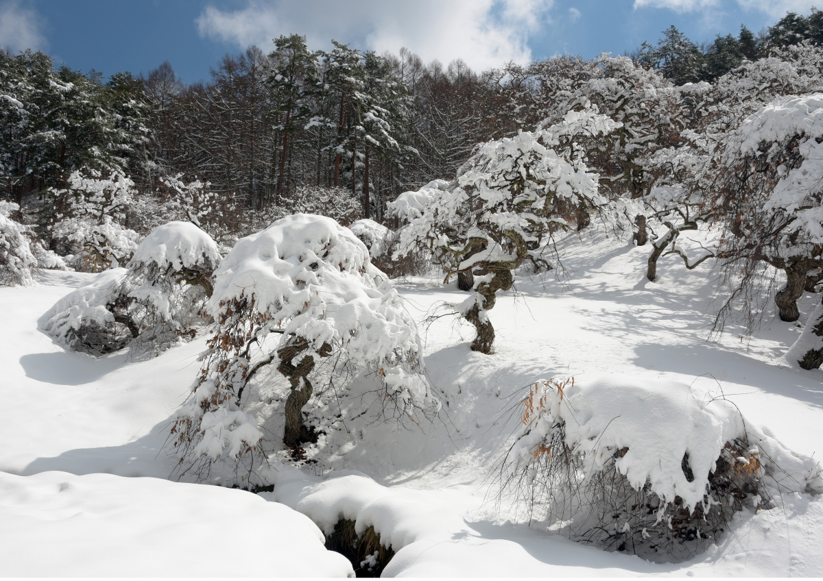 入選「冬景色(綿帽子を被ったしだれ栗)」奥村俊雄さま